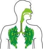 Groene long - een adem van verse lucht Stock Afbeelding