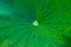 Groene Lotus Leaf Background stock afbeelding