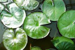 Groene lotusbloembladeren Stock Foto