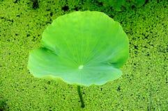 Groene lotusbloembladeren, de harmonie tussen de mens en Na Royalty-vrije Stock Fotografie