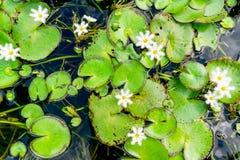 Groene lotusbloembladeren en uiterst kleine witte bloemen in een vijver stock afbeeldingen