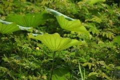 Groene lotusbloembloem in ochtendverfrissing en vrede stock foto's
