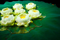 Groene lotusbloeminstallaties in Azië stock foto's