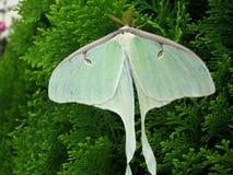 Groene Luna Moth in de lente Stock Foto