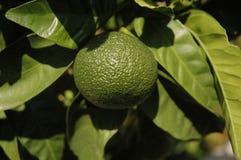 Groene mandarin Royalty-vrije Stock Afbeeldingen
