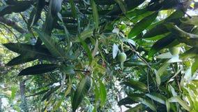 Groene Mango's Stock Afbeelding