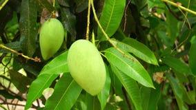 Groene mango's en bladeren die zich op de boom bewegen stock video