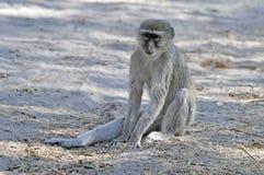 Groene Meerkat,绿色黑长尾小猴, Chlorocebus pygerythrus 免版税库存图片