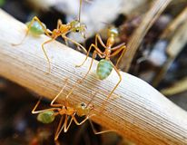 Groene mieren op het werk Royalty-vrije Stock Foto