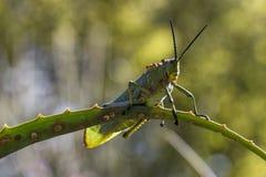 Groene Milkweed-Sprinkhaan Stock Fotografie