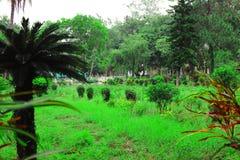 Groene mooie palm De lange Palm van de Boomstamdatum Data op een palm Dadelpalmtakken met rijpe data Bos van barhidata royalty-vrije stock fotografie