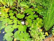 Groene mooie waterlelie Royalty-vrije Stock Fotografie