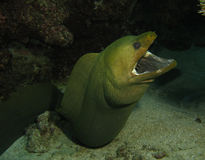 Groene moray paling royalty-vrije stock afbeeldingen