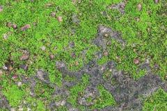 Groene mos Stock Foto