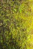 Groene mos achtergrond Stock Foto
