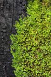 Groene Mos op de Zwarte Plank Royalty-vrije Stock Foto's
