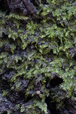 Groene mosdetails Royalty-vrije Stock Foto's