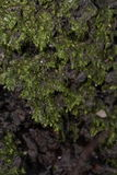 Groene mosdetails Stock Afbeelding