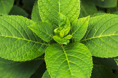 Groene Munt Royalty-vrije Stock Afbeelding