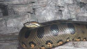 Groene murinus van anacondaeunectes stock video