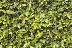 Groene muur Stock Foto's