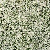 Groene muur van de bladeren van de Klimop Royalty-vrije Stock Afbeelding