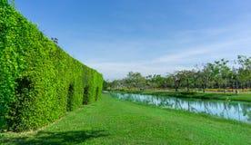 Groene muur van de Tandenborstelboom op vlot groen grasgazon naast een meer en een groep bomen onder duidelijke blauwe hemel stock fotografie