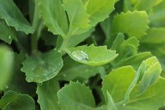 Groene muurpeper Royalty-vrije Stock Foto's