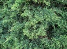 Groene naalden van de Cipres. Achtergrond. Stock Foto