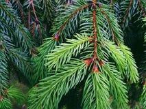 Groene naalden van Kerstbomen, de lente van 2017 Stock Foto's