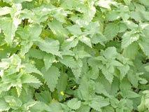 Groene netelbladeren. Achtergrond. Royalty-vrije Stock Foto