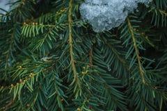 Groene nette die takjes door sneeuw worden behandeld royalty-vrije stock afbeelding