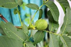 Groene noten op een boom stock afbeeldingen