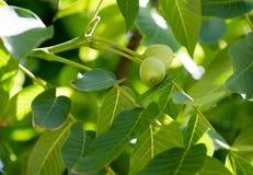 Groene okkernoten op een boom in de aard Stock Foto