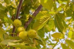 Groene okkernoten op een boomtak Royalty-vrije Stock Fotografie
