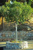Groene olijfboom Stock Afbeelding