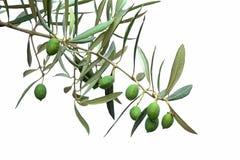 Groene olijftak stock afbeeldingen