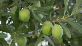 Groene olijven in Mediterrane tuin stock videobeelden
