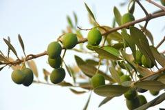 Groene olijven op de tak Royalty-vrije Stock Afbeeldingen