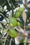 Groene olijven op een boom Royalty-vrije Stock Afbeeldingen