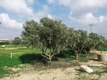 Groene olijvenboom royalty-vrije stock foto