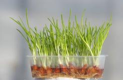 Groene onions stock afbeelding