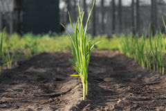 Groene onions Royalty-vrije Stock Fotografie