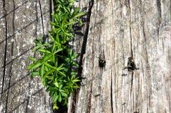 Groene onkruid en mieren op oude spoorwegdwarsbalken Royalty-vrije Stock Foto