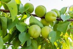 Groene onrijpe abrikozen op een boomtak in de tuin Rijpende abrikozen op boomtak tijdens de lentetijd, fruitontwikkeling stock fotografie