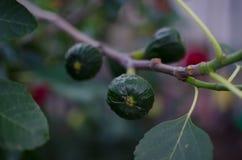 Groene onrijpe fig. op een tak royalty-vrije stock foto's