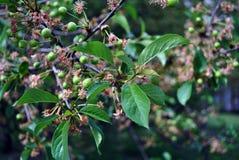 Groene onrijpe kersenbessen op tak met groene bladeren royalty-vrije stock fotografie