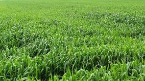 Groene onrijpe tarwe palnts op gebied, handbediend schot stock video