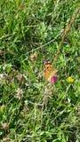 Groene oranje vlinder Royalty-vrije Stock Foto