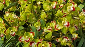 Groene Orchideeën in Bloesem Royalty-vrije Stock Afbeelding